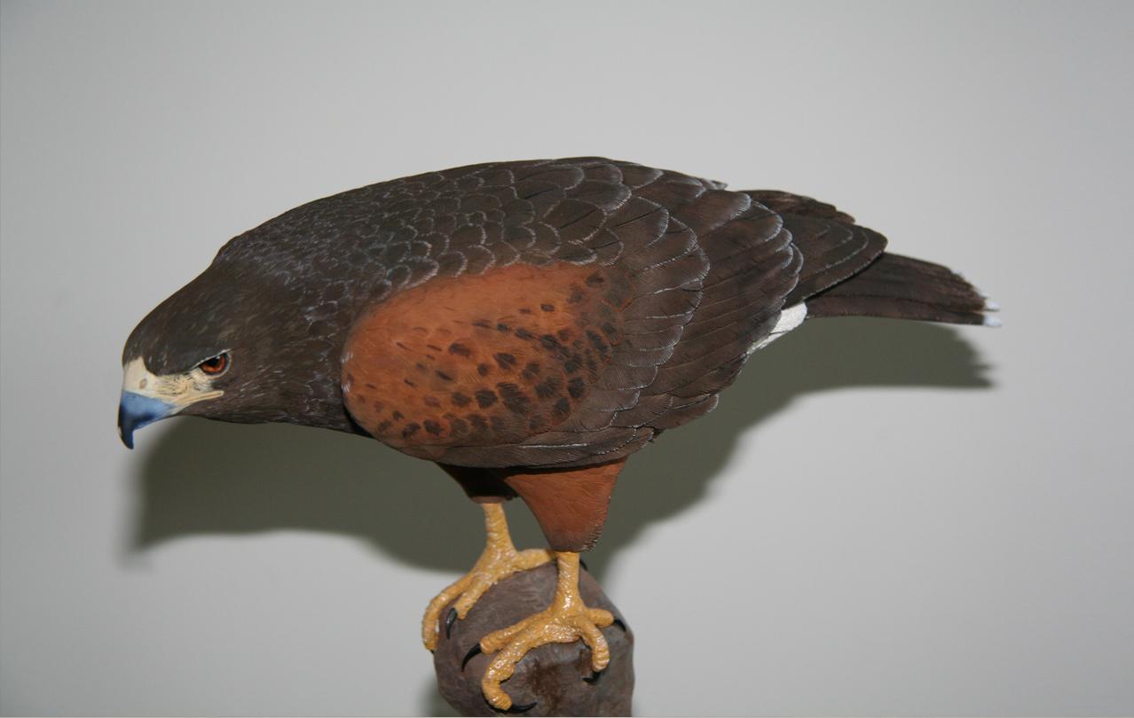 Harris hawk wood carving incredible bird carvings